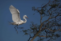 Great Egret (Casmerodius albus) - Landing on Tree - Louisiana