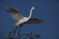Great Egret (Casmerodius albus) - In flight - Louisiana