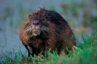 Nutria (Coypo) - Louisiana - USA