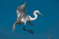 Great Egret (Casmerodius albus) - Louisiana - USA