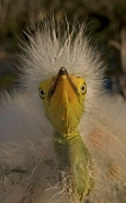 Great Egret Nestling (Casmerodius albus) - Louisiana - USA