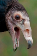 Black Vulture (Coragyps atratus) - Mississippi