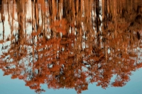 Reflection of Bald Cypress Trees in Swamp Water (Taxodium distic