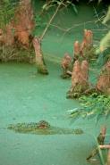 American Alligator (Alligator misssissippiensis) in Duckweed - L