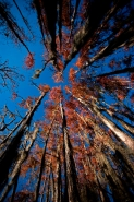Bald Cypress Trees (Taxodium distichum) in Louisiana - USA