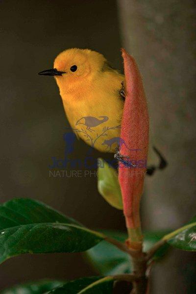 Prothonotary Warbler (Protonotaria citrea)  - Louisiana USA
