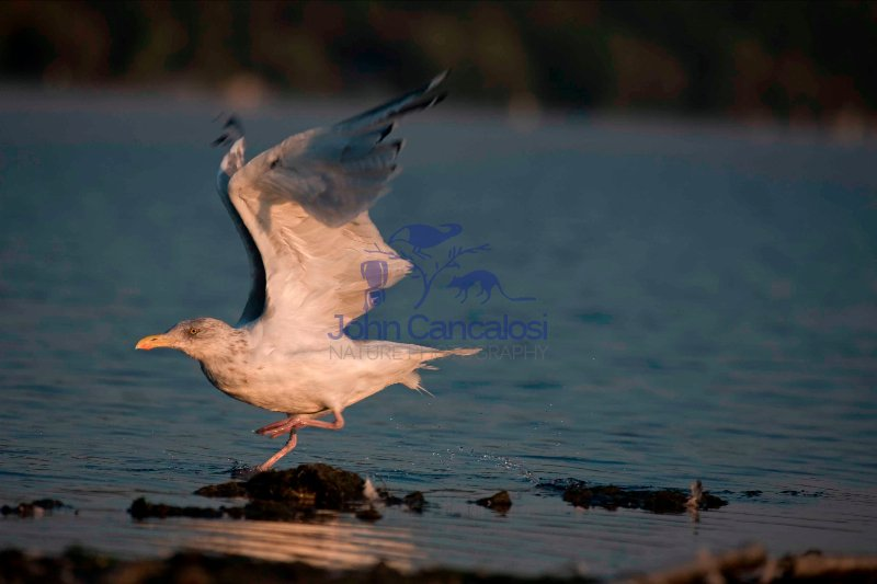 Herring Gull (Larus argentatus)  - New York - USA