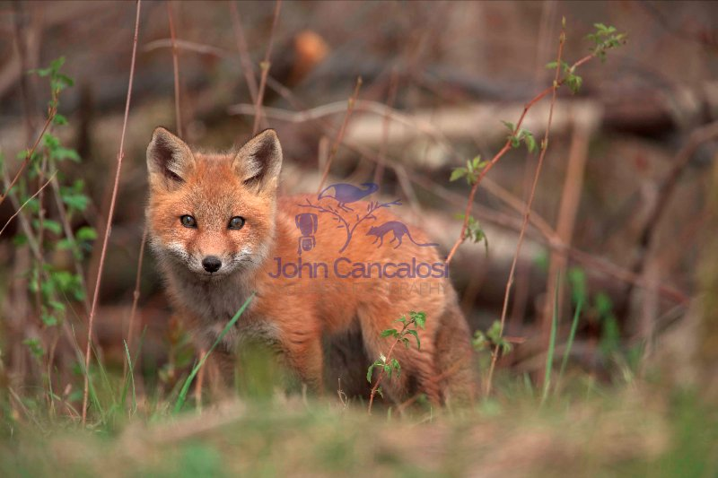 Red Fox (Vulpes vulpes) -formerly Vulpes fulva - New York - USA