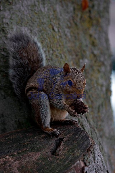 Eastern Gray Squirrel (Sciurus carolinensis)  - New York