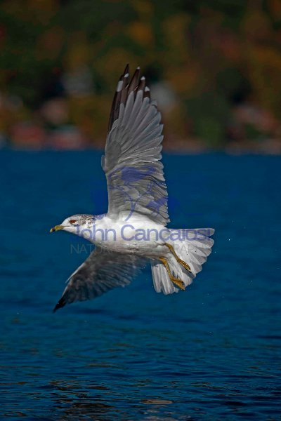 Ring-billed Gull (Larus delawarensis) - New York - USA