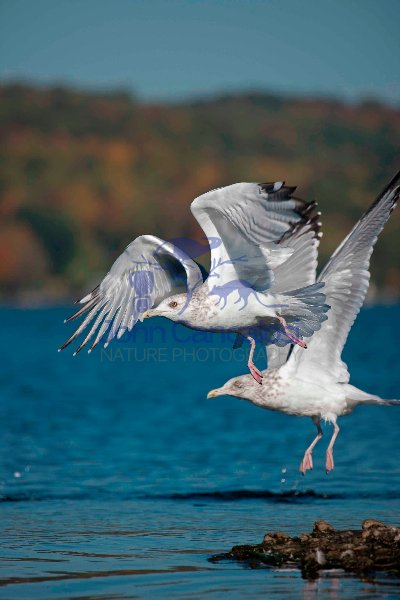 Herring Gulls (Larus argentatus)  - New York - USA
