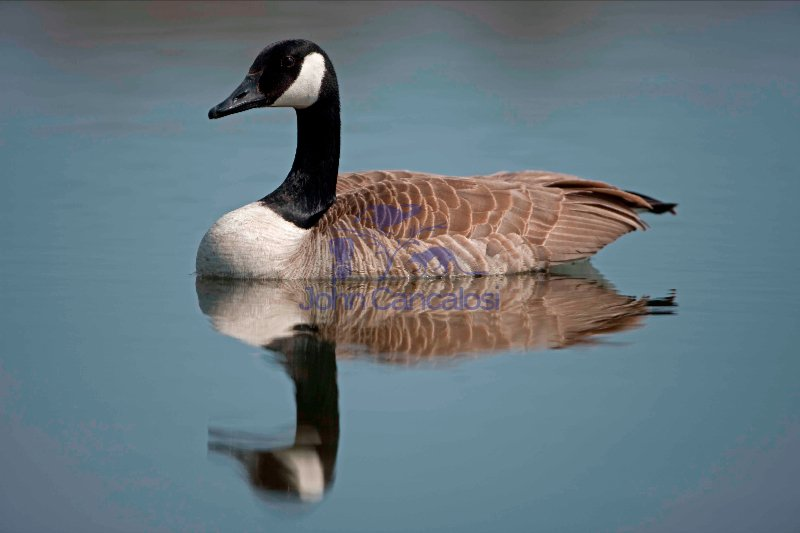 Canada Goose (Branta canadensis) - Swimming - New York