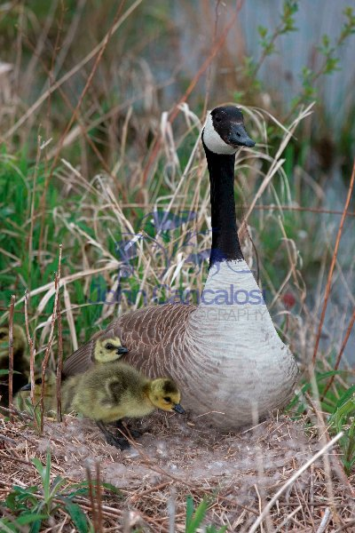 Canada Goose (Branta canadensis) - On nest w/Young-NY-USA