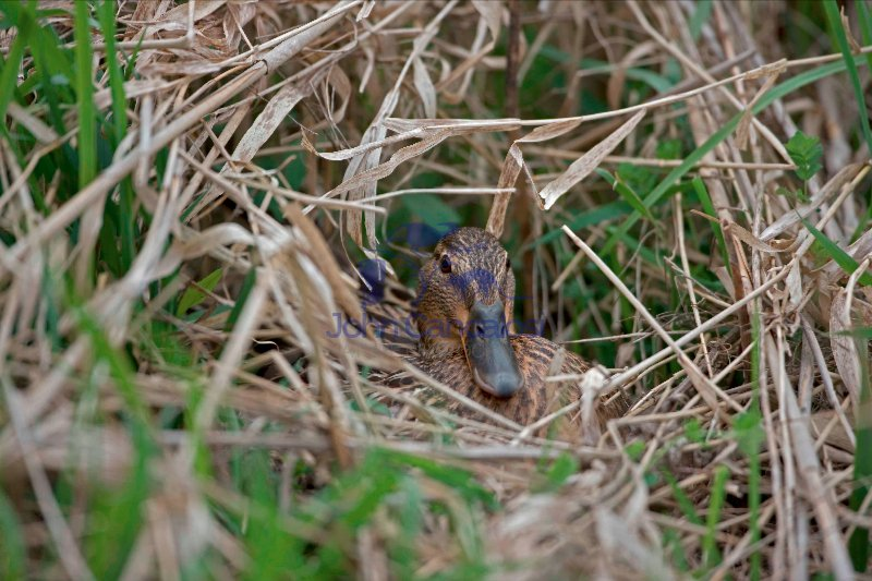 Mallard (Anas platyrhynchos) - Female on nest - NY - USA