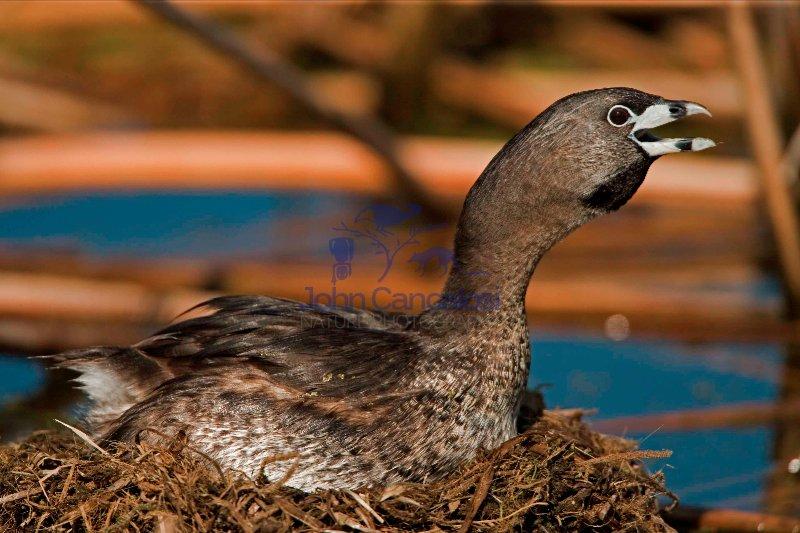 Pied-billed Grebe-(Podilymbus podiceps)-Calling-Nesting-New York