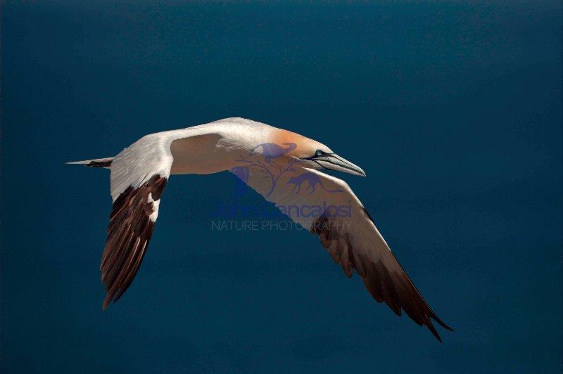 Northern Gannet (Morus bassanus) -  Canada