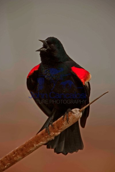 Red-winged Blackbird-Male-Agelaius phoeniceus-New York
