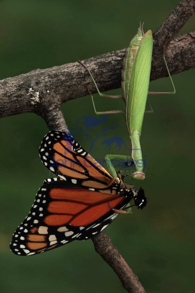 European Mantid Eating Monarch Butterfly - New York - USA