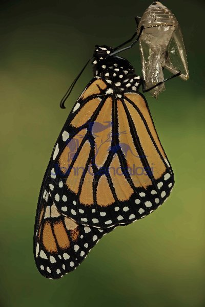 Monarch Butterfly - Adult recently emerged from chrysalis (Danau