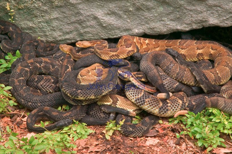 Timber Rattlesnakes, Crotalus horridus, northeastern United States.  Venomous pitvipers, widely distributed throughout eastern United States.  Legally protected in 8 of 32 states in which it occurs.  Populations declining due to habitat loss and direct persecution.  Occurs in two color morphs--black and yellow.  Female bear live litters of 3-14 young every 3-5 years.  Feeds mainly on small mammals captured through ambush.  Ectothermic (cold-blooded)--relies heavily on rocky, south-facing outcrops for basking.  Generally mild-mannered in comparison to other rattlesnake speciesGravid females basking to bring young to term Common  Garter Snake-    Thamnophis sirtalis amongst rattlers