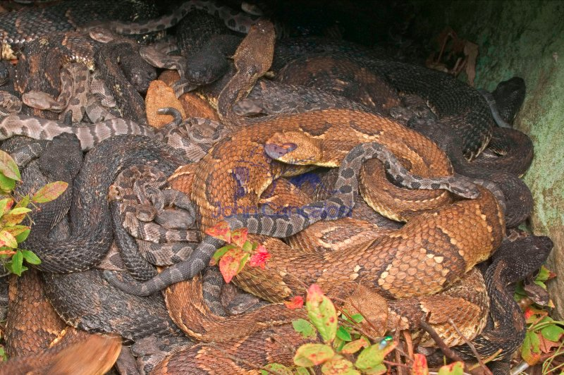 Timber Rattlesnakes- adults and newborn young