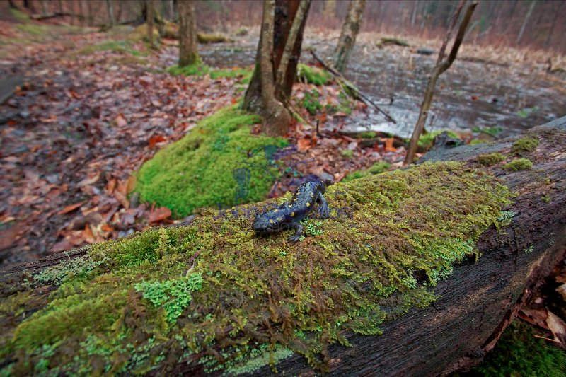 Spotted Salamander (Ambystoma maculatum) - New York - USA