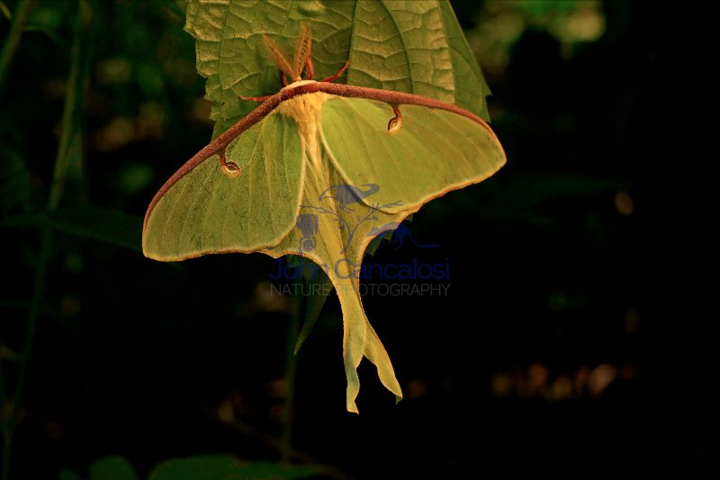 Luna Moth - (Arctias luna) - Newly emerged adult - New York - US