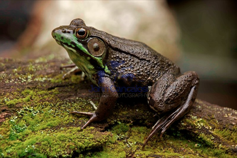 Green Frog - (Rana clamitans) - New York - U.S.A.