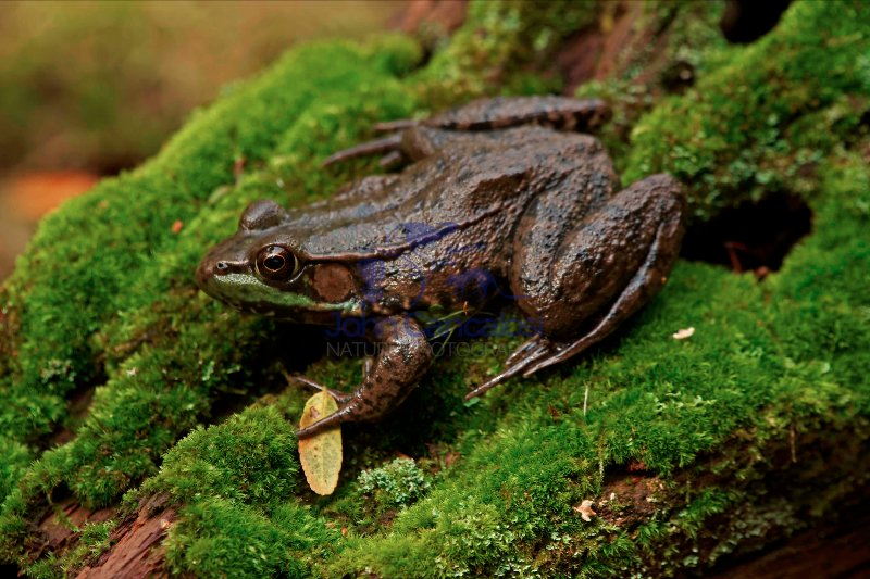 Green Frog - Rana clamitans - New York - USA