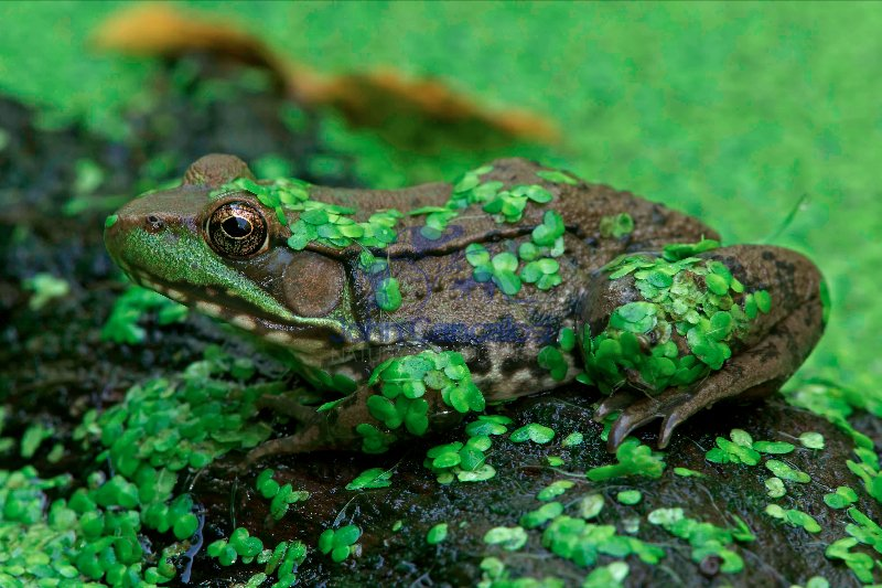 Green Frog - (Rana clamitans) - New York - U.S.A. - in duckweed