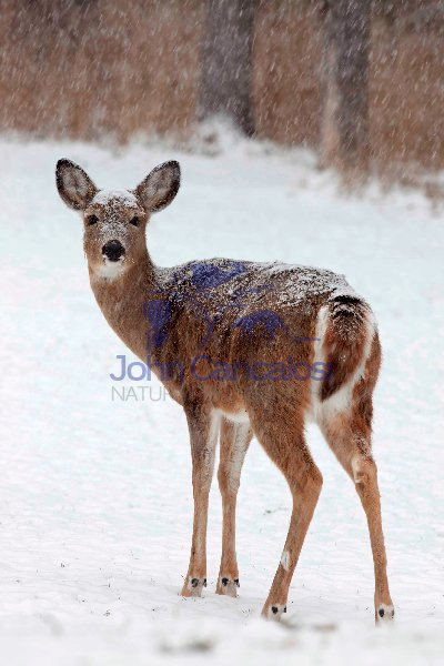 White-tailed deer - Odocoileus virginianus - doe - New York - US