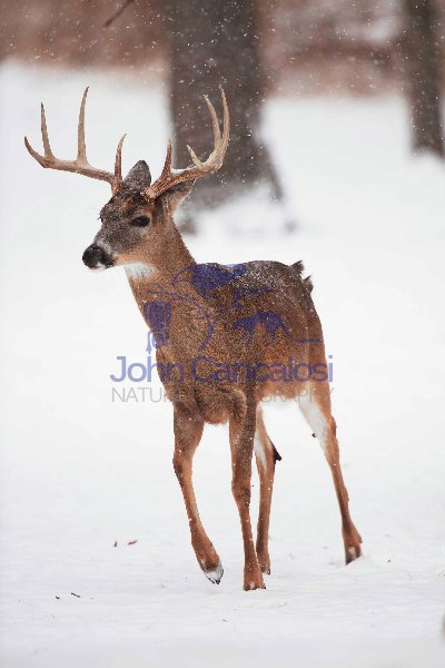 White-tailed deer - Odocoileus virginianus - buck - New York - U
