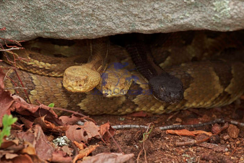 Timber Rattlesnakes - Crotalus horridus - Pennsylvania - U.S.A.