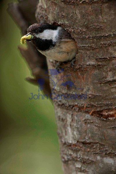 Black-capped Chickadee (Poecile atricapilla) - NY USA