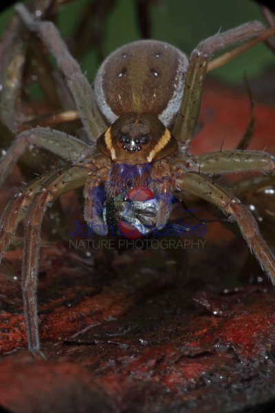 Raft Spider (Dolomedes spp) - Eating a fly - New York - USA