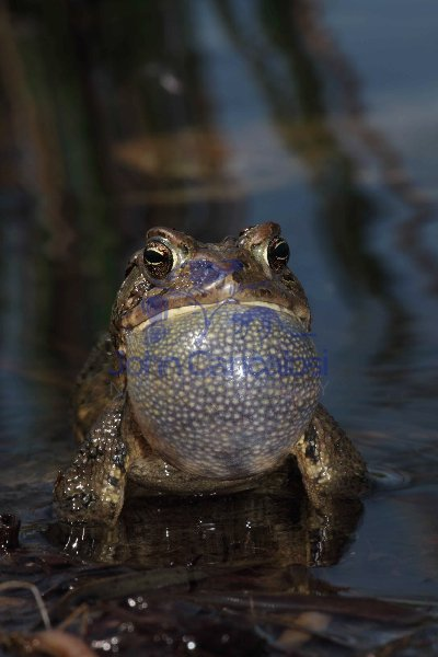 American Toad (Bufo americanus) - New York - USA