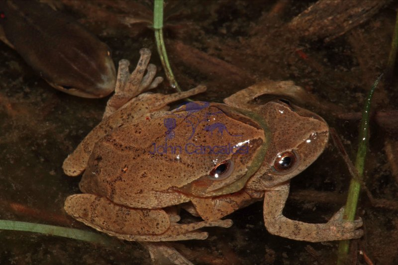 Spring Peepers (Pseudacris crucifer) - Mating - New York - USA