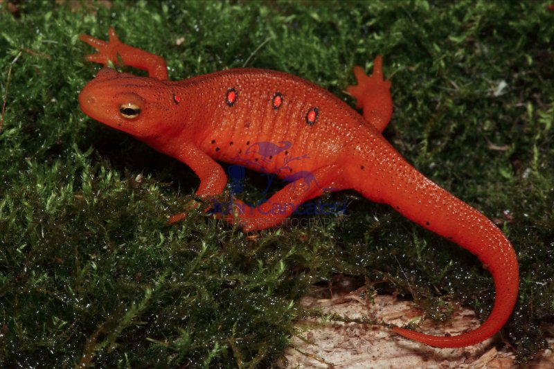 Red Eft - Terrestrial Form of Red -Spotted Newt - NY - USA
