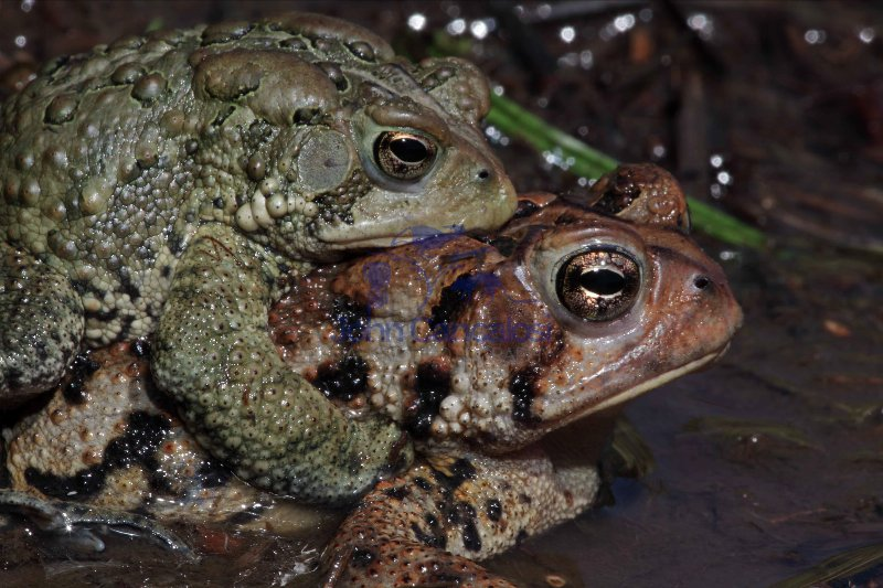 American Toad (Bufo americanus) - Mating - New York - USA