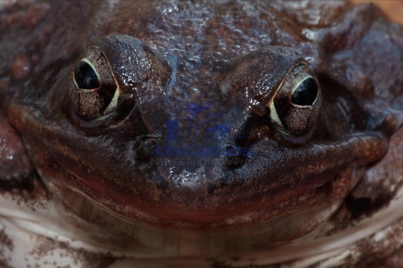 Wood Frog (Rana Sylatica) - Portrait - New York