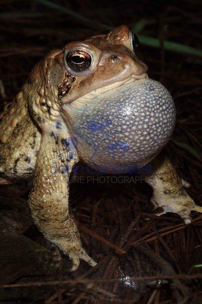 American Toad (Bufo americanus) - Calling - New York - USA