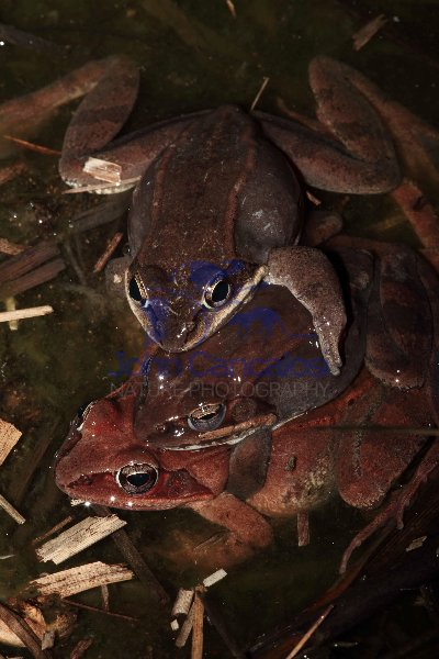 Wood Frogs Mating (Rana sylvatica) - New York - USA