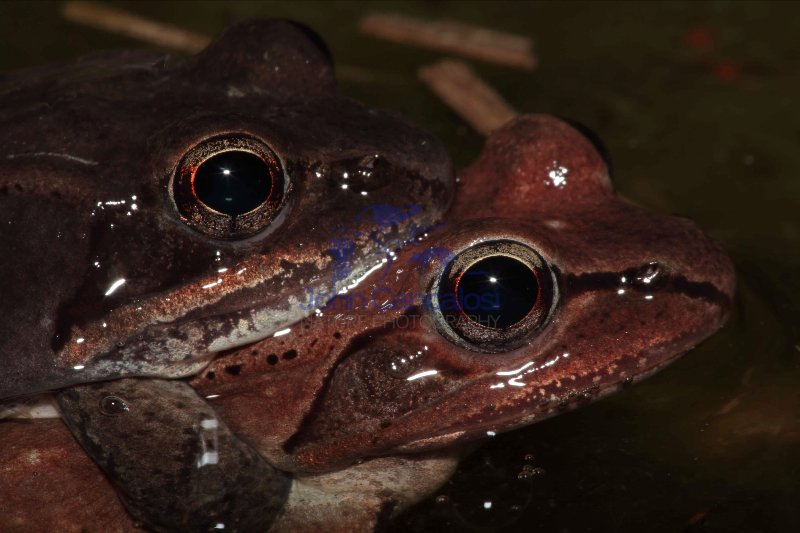 Wood Frogs Mating - Pair in Amplexus (Rana sylvatica) - NY - USA