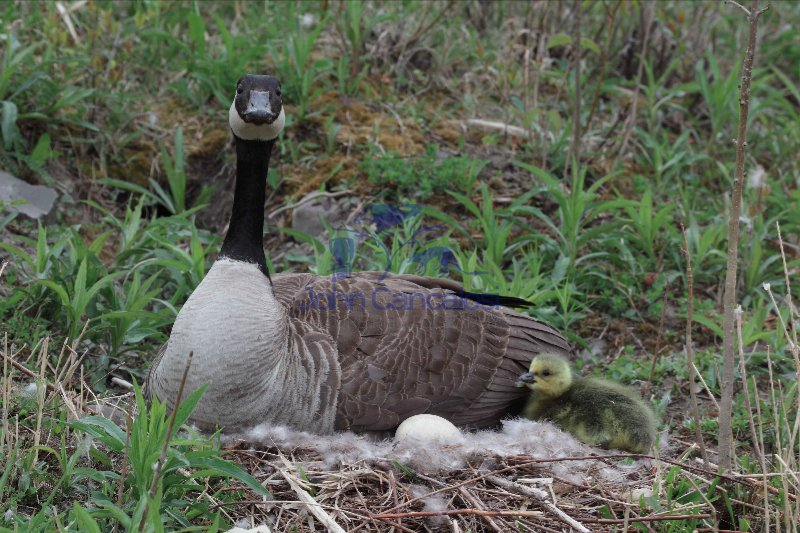 Canada Goose (Branta canadensis) On nest w/young - NY - USA