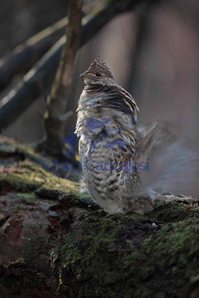 Ruffed Grouse (Bonasa umbellus) - Male Drumming -NY - USA