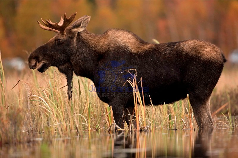 Moose (Alces alces) - Male - Young Bull - New  York - USA