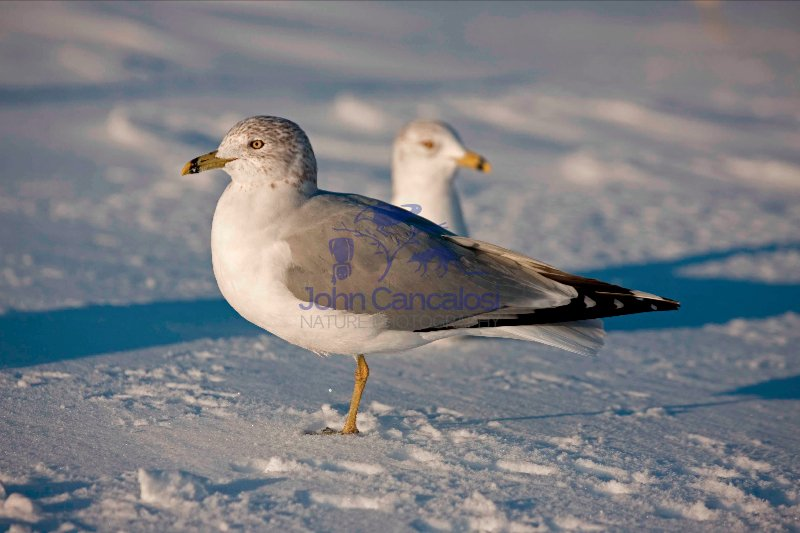 Ring-billed Gull (Larus delawarensis) - Standing - New York - US