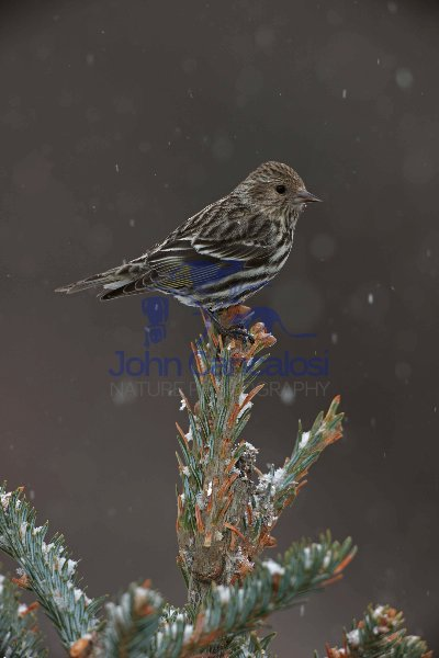 Pine Siskin (Carduelis pinus) - Perched - New York - USA