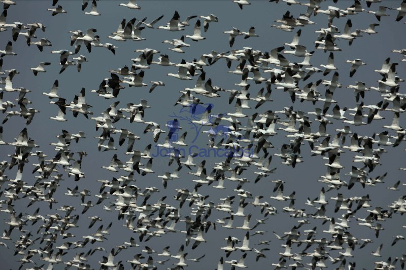 Snow Geese (Chen caerulescens) - New York - USA