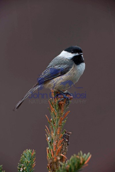 Black-capped Chickadee (Poecile atricapilla) - Perched - NY USA
